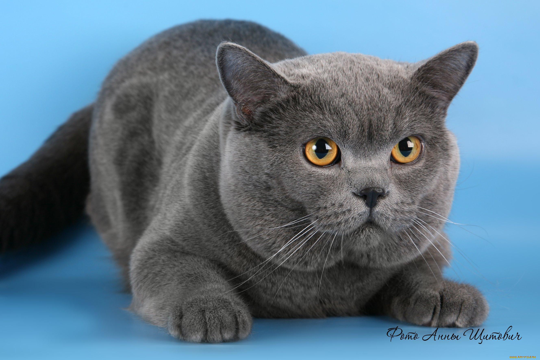 Котики британцы фото
